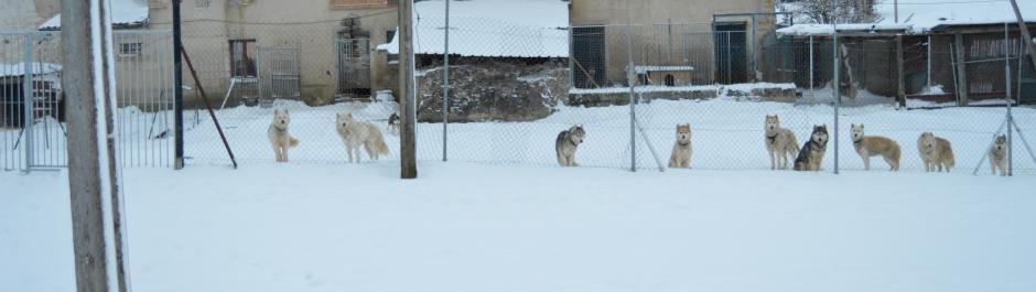 chiens de traineau, les nordiques de la ferme sur la roche, 25380 Belleherbe, Franche comté, huskys sibériens