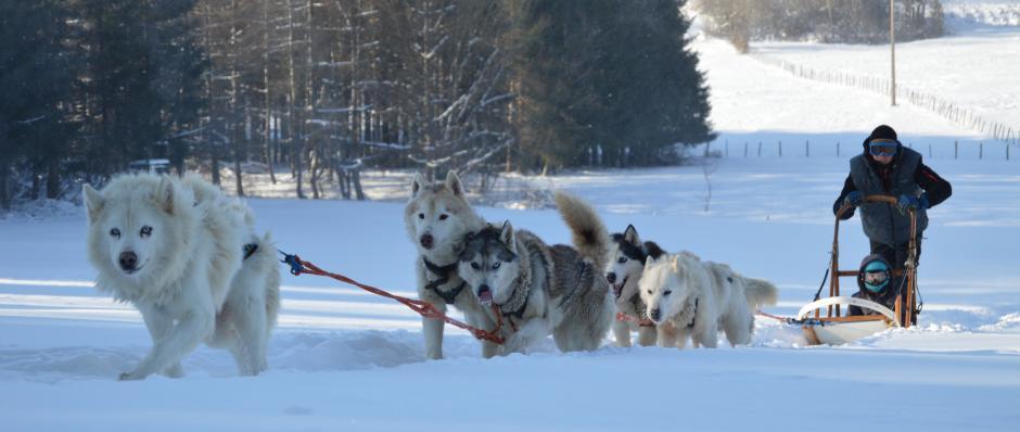activit s chiens de traineau chiens de traineau franche
